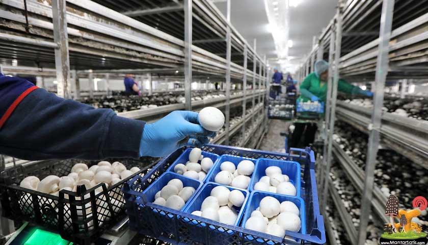 Mantar üretim çiftliği