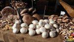 Kültür mantarı üretim ve tüketiminde örgütlenme sorunu