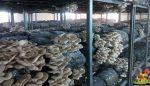 İstiridye mantarı üretim sertifikası