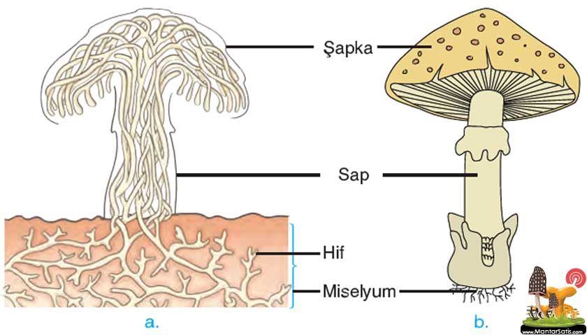 Mantar biyolojisi