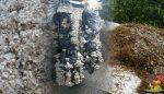 Saman ve Pamuk kompostu farkları