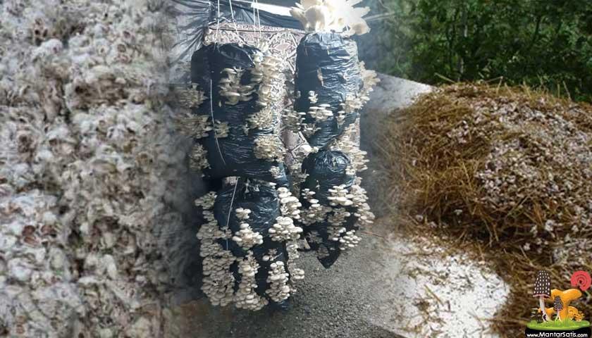 pamuk saman mantar kompost