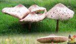Şemsiye Mantarı
