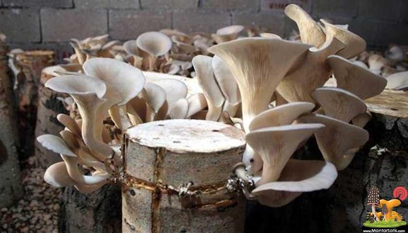 mantar kütük kültürü
