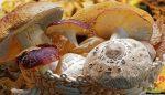 Kültür mantarı zehirler mi?