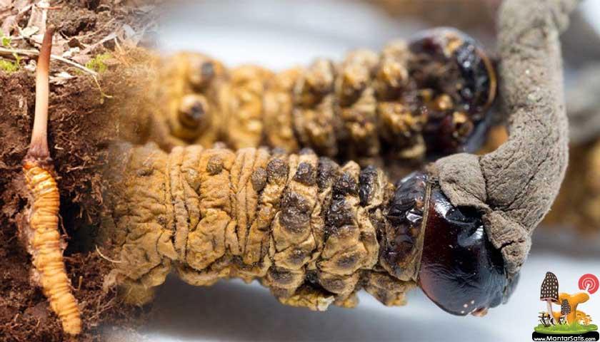Yarsagumba mantarı