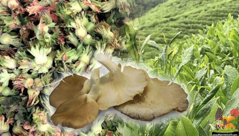 Fındık zulufu ve çay lifinden mantar