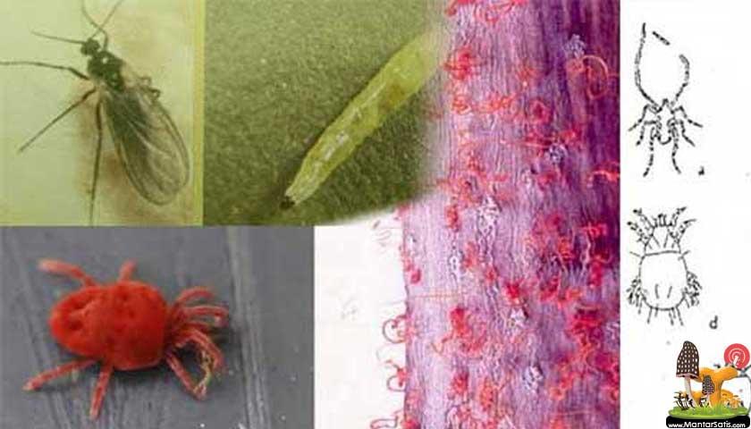 mantar zararlıları